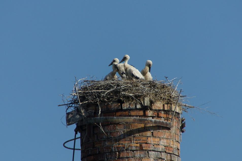 Nachdem längere Zeit drei Storchen-Junge beobachtet wurden, zeigte sich jetzt noch ein viertes Jungtier.