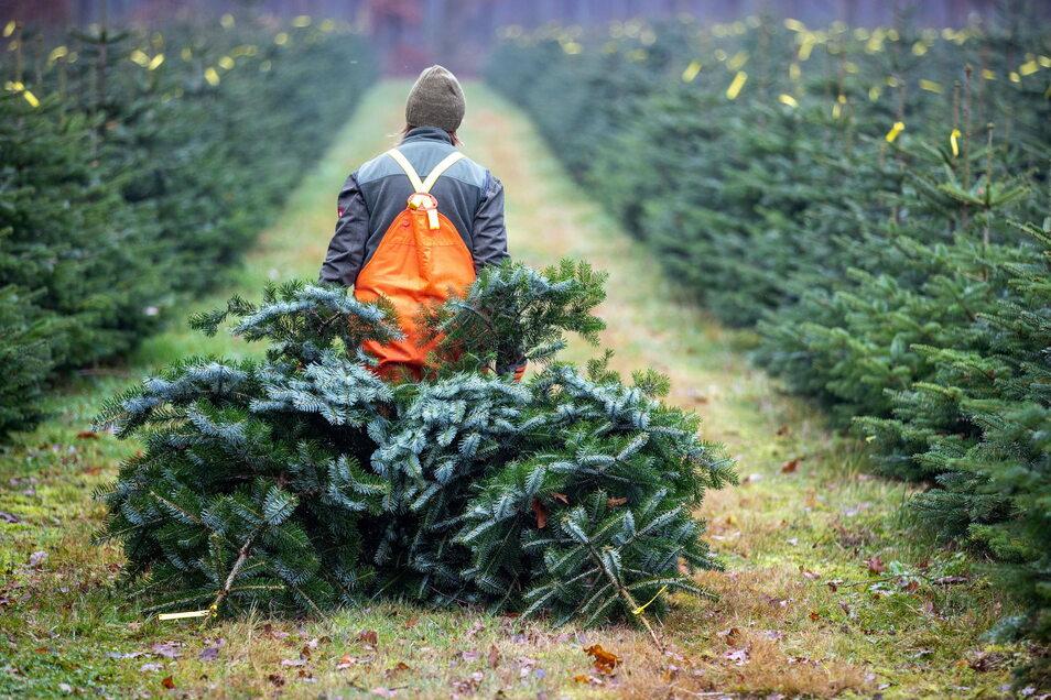 Der Weihnachtsbaum im Wohnzimmer ist in diesem Jahr für viele ein Muss. Händler hoffen deshalb auf eine große Nachfrage.