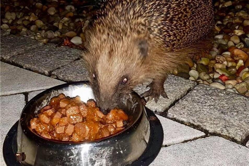 Dankbar sind auch Igel für kleine Leckerbissen zur kühleren Abendstunde.