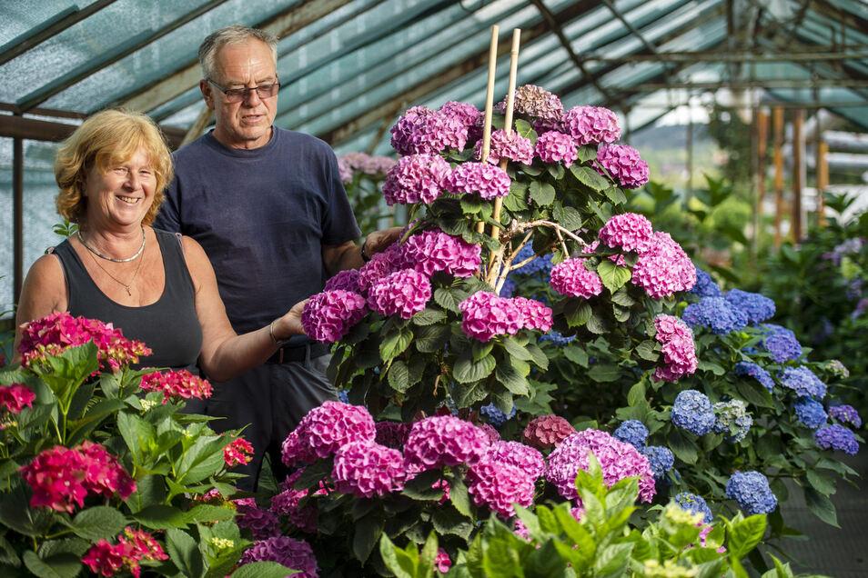 Ilona und Reinhard Ullmann sind absolute Hortensien-Experten. In ihren Gewächshäusern in Naundorf gedeihen sie in allen Farben und Größen. Sogar Kunden aus Österreich und der Schweiz bestellen bei ihnen.