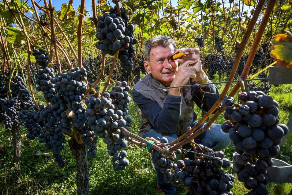 Johann Kehl misst mit dem Refraktometer den Zuckergehalt seiner Weinbeeren. Die Stöcke hängen voll, aber es fehlte in diesem Jahr die Sonne, um die Trauben zur vollen Reife zu bringen.