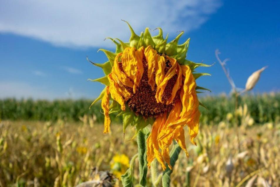 Sogar für diese Sonnenblume auf einem Feld bei Partwitz im Landkreis Bautzen war in diesem Sommer die Sonne zu stark. Der fehlende Regen hat das Feld, auf dem sie steht, austrocknen lassen.