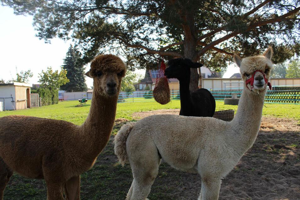 Eine Kiefer spendet den Alpakas Duke (braunes Fell), Luke (hell) und Mercedes (schwarz) ausreichend Schatten an heißen Tagen.