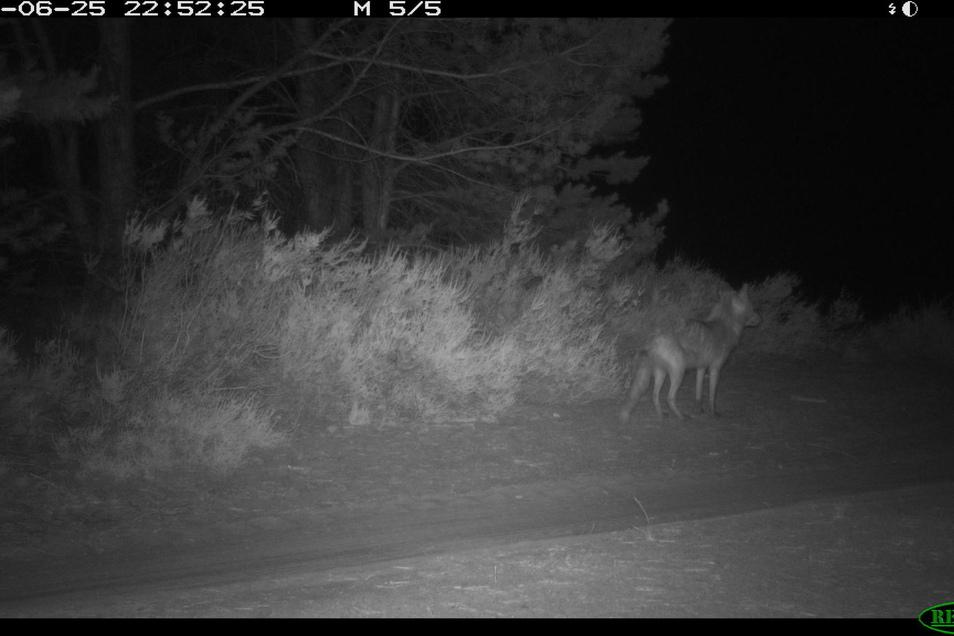 Der Fuchs ist deutlich kleiner.