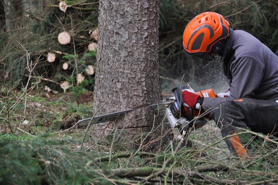 In Siedlungsgebieten dürfen Bäume nur zu bestimmten Zeiten gefällt werden. Das ist im Wald anders.