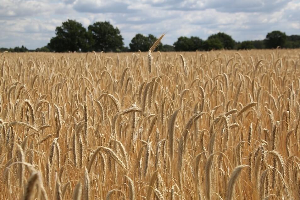 Am vergangenen Wochenende hat die Bergener Landwirtschafts-GmbH mit der Getreideernte begonnen. Mehrere Getreidesorten befinden sich bereits in der Notreife.