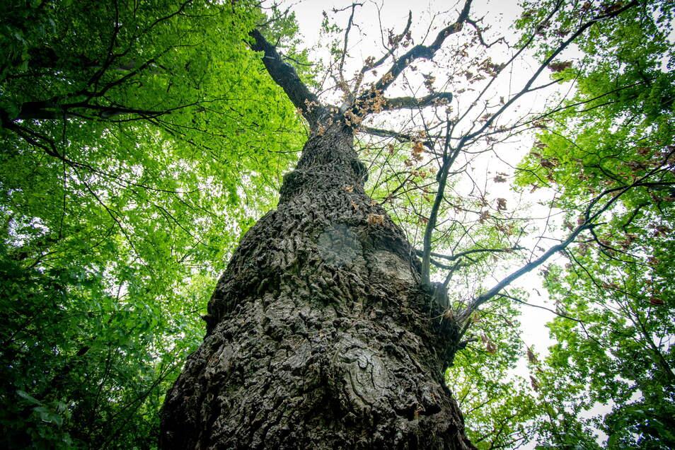 Die sogenannte Problemeiche am Waldheimer Eichberg: Die Äste sind kahl. Der Baum muss stückchenweise von oben abgetragen werden.
