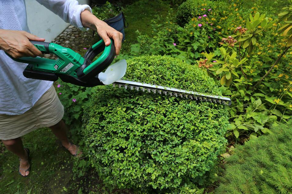 Formgehölze werden am besten im Mai oder Juni geschnitten.
