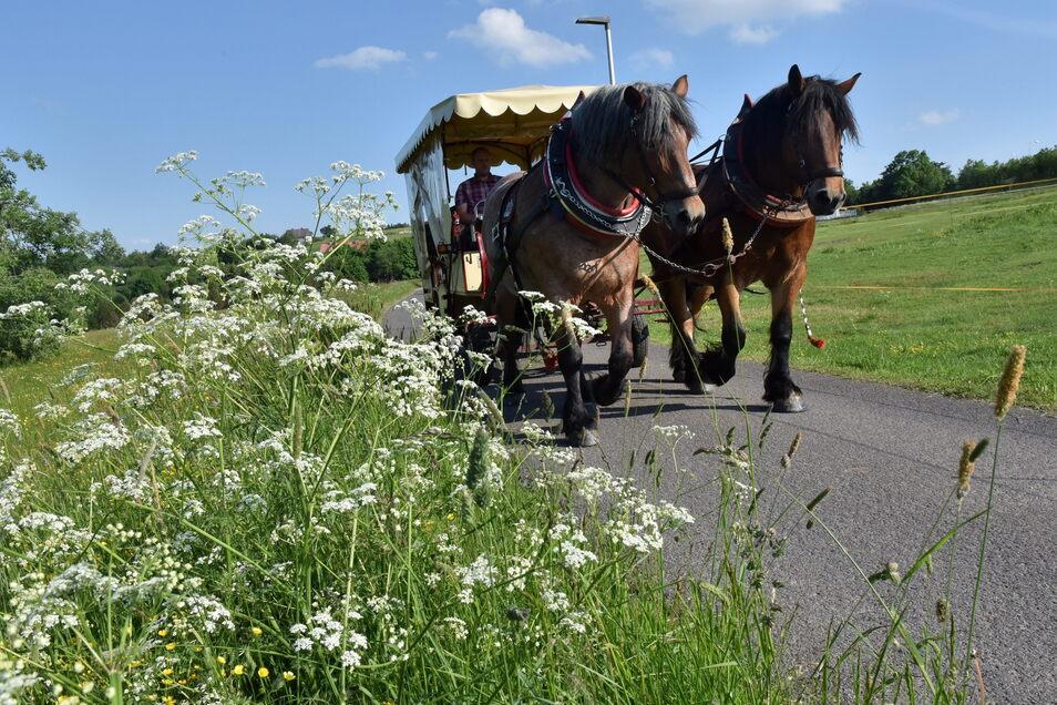 Vorbei sind die Tage, wo die Pferde vom Zinnwalder Fuhrbetrieb Liebscher zum Nichtstun verdammt waren. Mit ausgedehnten Trainingsfahrten, vorbei an den blühenden Bergwiesen, werden die Tiere wieder auf Ausdauer gebracht.