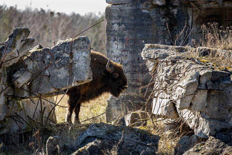 Seit rund zehn Jahren leben Wisente weitestgehend ungestört von Menschen in der Wildniskernzone der Naturlandschaft Döberitzer Heide in Brandenburg. Nun gibt es Pläne, die mächtigen Tiere auch im Wildgehege Moritzburg zu halten.