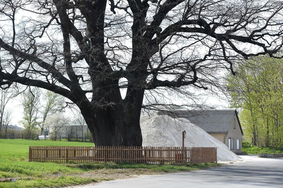 Anwohner fürchten, der Kalk schadet dem stattlichen Naturdenkmal in Herwigsdorf.