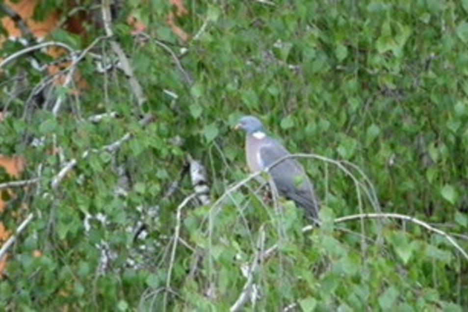 """Der erste Besucher bei der """"Stunde der Gartenvögel: eine Ringeltaube."""