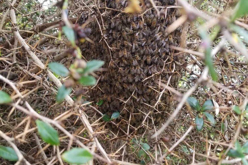 Das Bienenvolk im Gebüsch