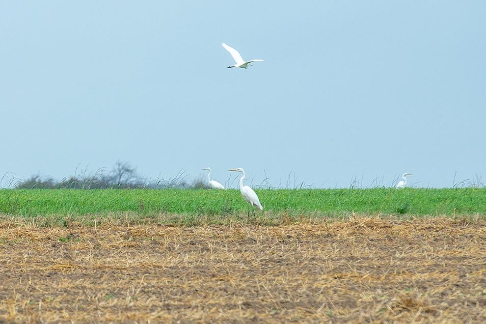 Auf einem Feld zwischen Grumbach und Kesselsdorf hat eine Leserin diese Vögel entdeckt. Störche sind es nicht.