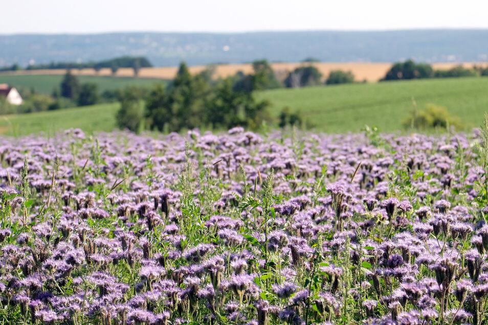 Die Dresdener Mühle bezahlt Landwirte in Mitteldeutschland jetzt für das Anlegen von Blühwiesen auf einem Teil ihrer Flächen. Im Klipphausener Ortsteil Röhrsdorf gibt es ein gutes Beispiel dafür .
