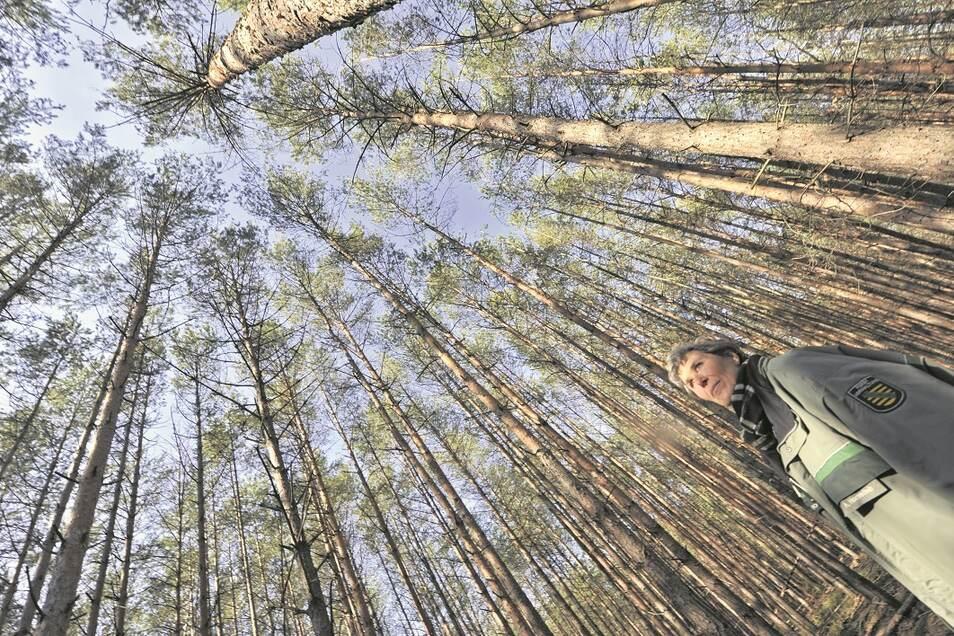 Mit prüfendem Auge ist die Revierförsterin Annett Hornschuh im Wald unterwegs, um neue Befallsherde an Schädlingen zu erkennen. Sie hofft, dass Regen und Schnee des Winters geholfen haben, die Bäume zu stärken und resistenter zu machen.
