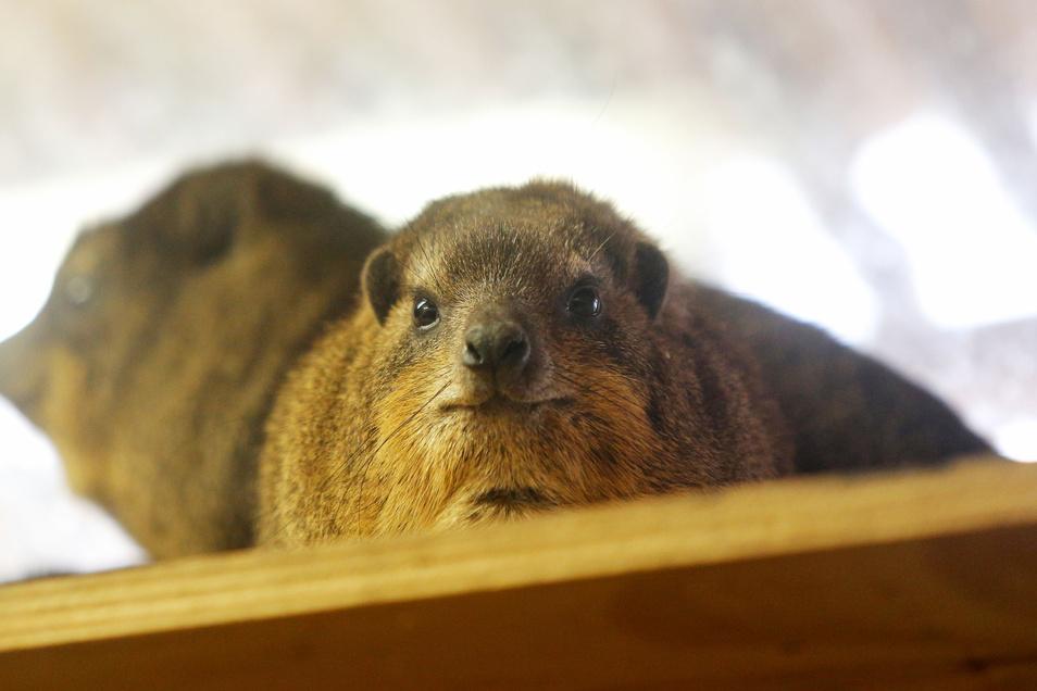Bei den Klippschlieferweibchen im Zoo Dresden soll bald ein Männchen einziehen und für Nachwuchs sorgen.