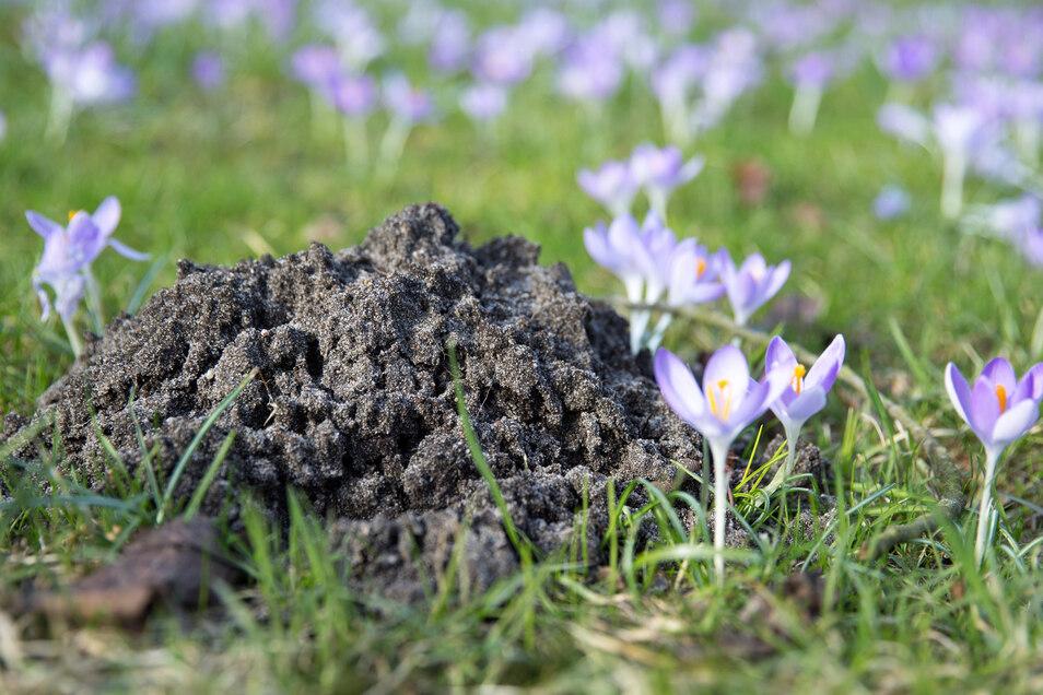 Auch Maulwürfe ärgern viele Gärtner, denn ihre Erdhügel verschandeln den Rasen. Ein Tipp: Die aufgeworfene Erde ist so locker, dass sie sich gut für Blumentöpfe eignet.