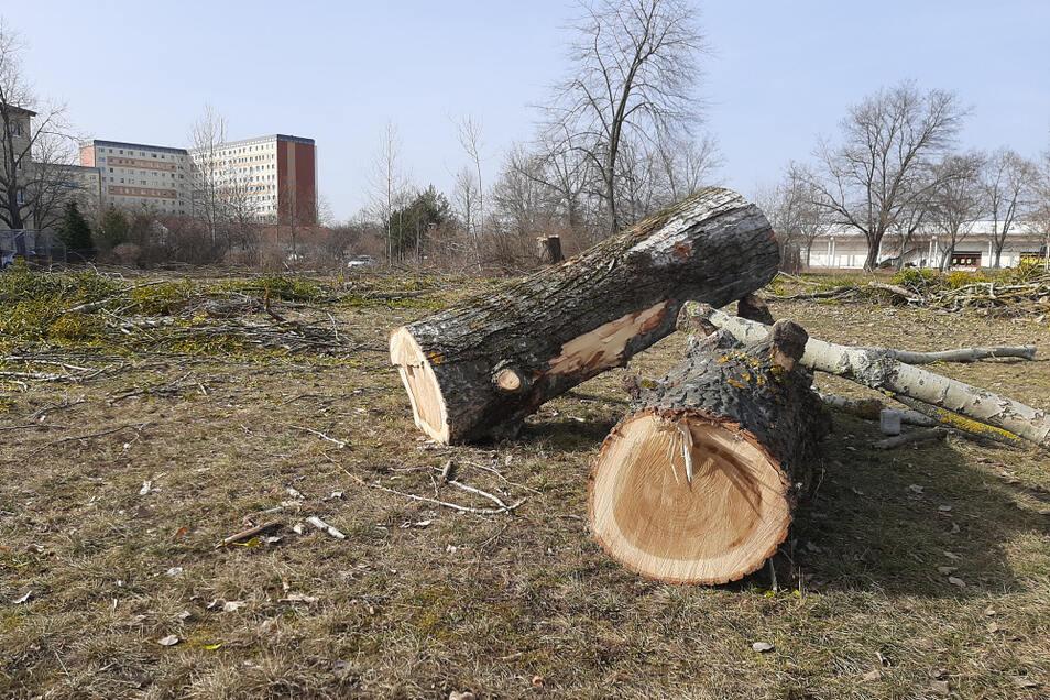 Baumfällungen, dokumentiert in Hoyerswerdas Neustadt am 23. Februar. Sonntag, der 28. Februar, ist theoretisch (bis 30. September) der letzte Termin, an dem solche Eingriffe in die Natur statthaft sind. Nicht wegen der Pflanzen, sondern wegen ihrer mögl