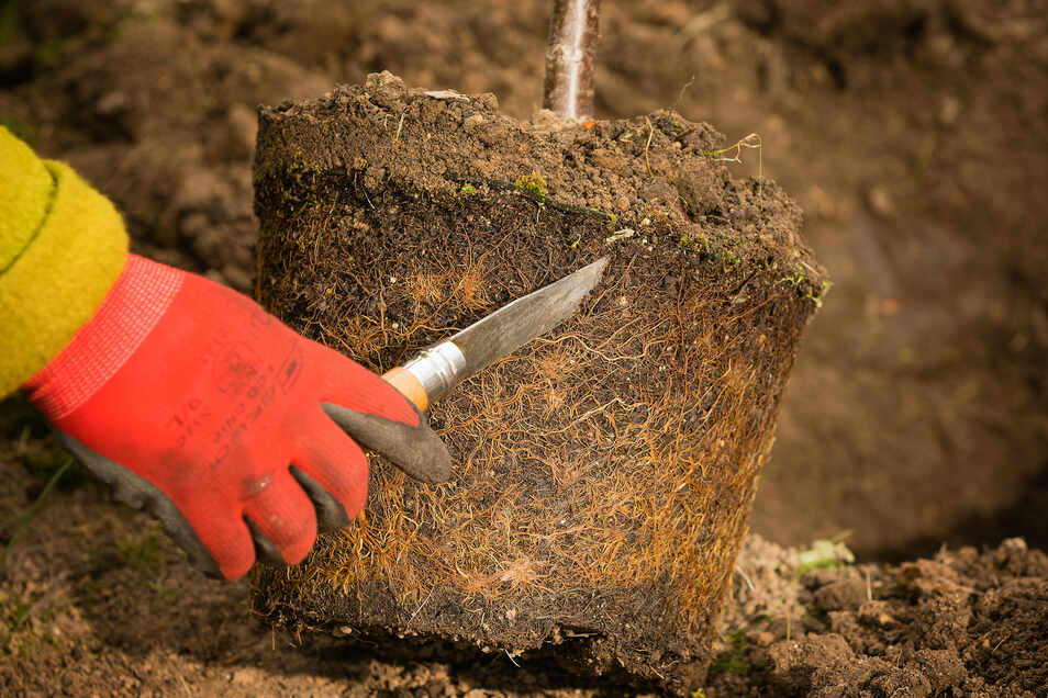 Tipp 2: Wurzelballen auflockern Mit einem Gartenmesser den Ballen aufschneiden, damit die Wurzeln in die Fläche wachsen und keinen Drehwuchs bekommen. Den Ballen in Wasser tauchen, bis er sich vollgesogen hat.