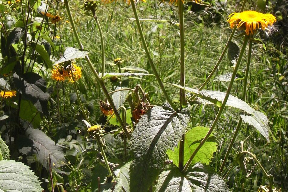 Die Telekie verdrängt heimische Pflanzenarten, gilt aber als insektenfreundlich.