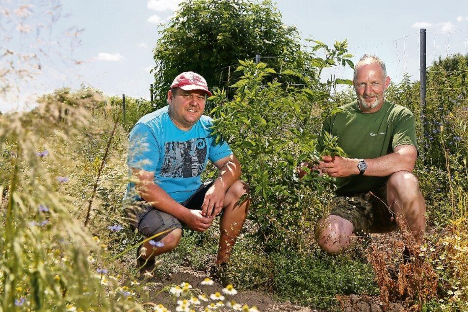Torsten Gorisch (l.) und Ulf Kaule vom Landwirtschaftsbetrieb Birkenhof in Glaubitz haben am Rande ihrer Felder eine Hecke gepflanzt. Die besteht unter anderem aus Holunder und soll Tieren neuen Lebensraum bieten.