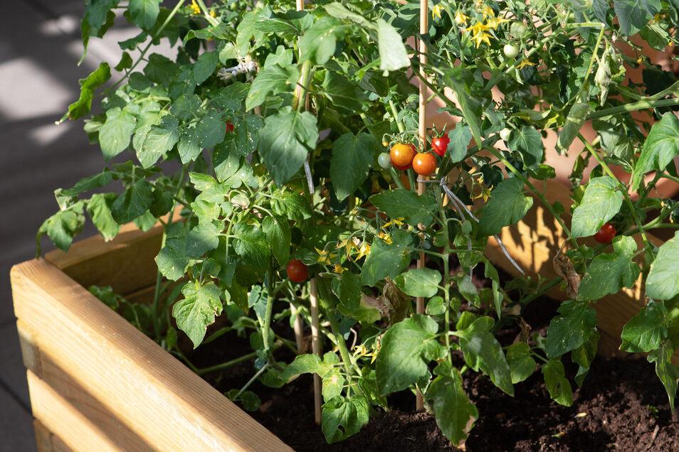 Tomatenpflanzen entwickeln sich auf dem Balkon oft besser als im Garten.