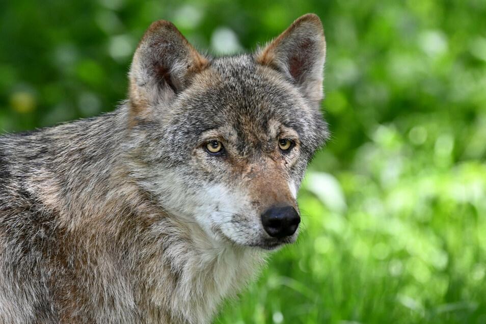 Ein Wolf ist am Montag in Laußnitz gegen einen Mazda gelaufen.