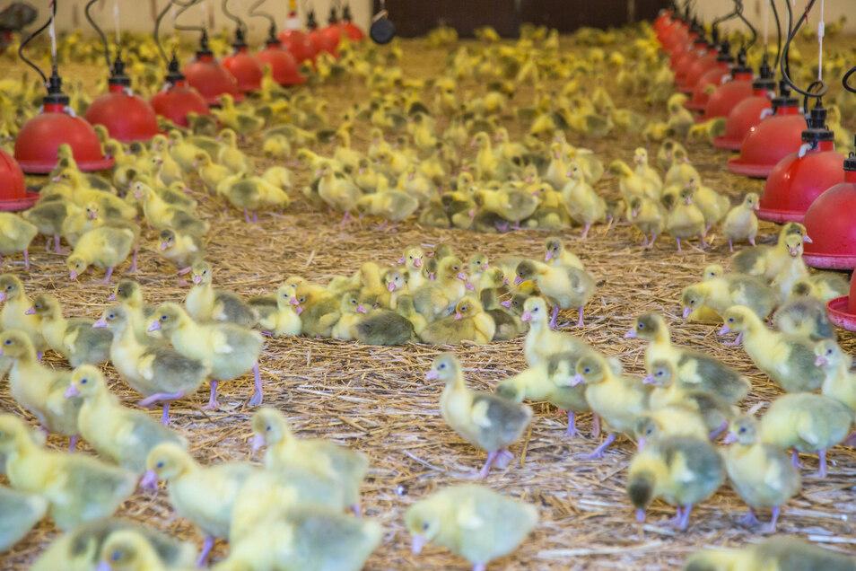 Vom ersten bis 21. Lebenstag werden die Gänseküken in Kreba in Warmaufzucht gehalten. Mit vollendeter 22. Lebenswoche sind sie schlachtreif.