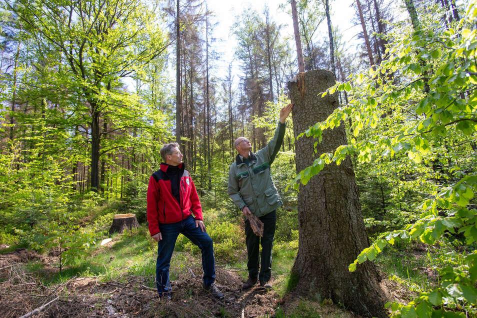 Nationalparksprecher Hanspeter Mayr (li.) und Revierförster Matthias Protze an einem Hochstubben an der Neuen Straße in Hinterhermsdorf. So ähnlich wird es in der Waldhusche aussehen.
