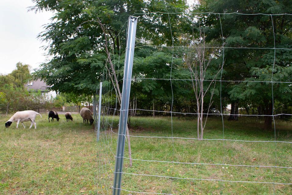 Die Schafe weiden in Strehlen auf städtischem Bauland. Damit die Tiere nicht auf einem angrenzenden Privatgrundstück weiden, musste ihre Besitzerin nun den Zaun aufstellen. Darüber ist sie verwundert.