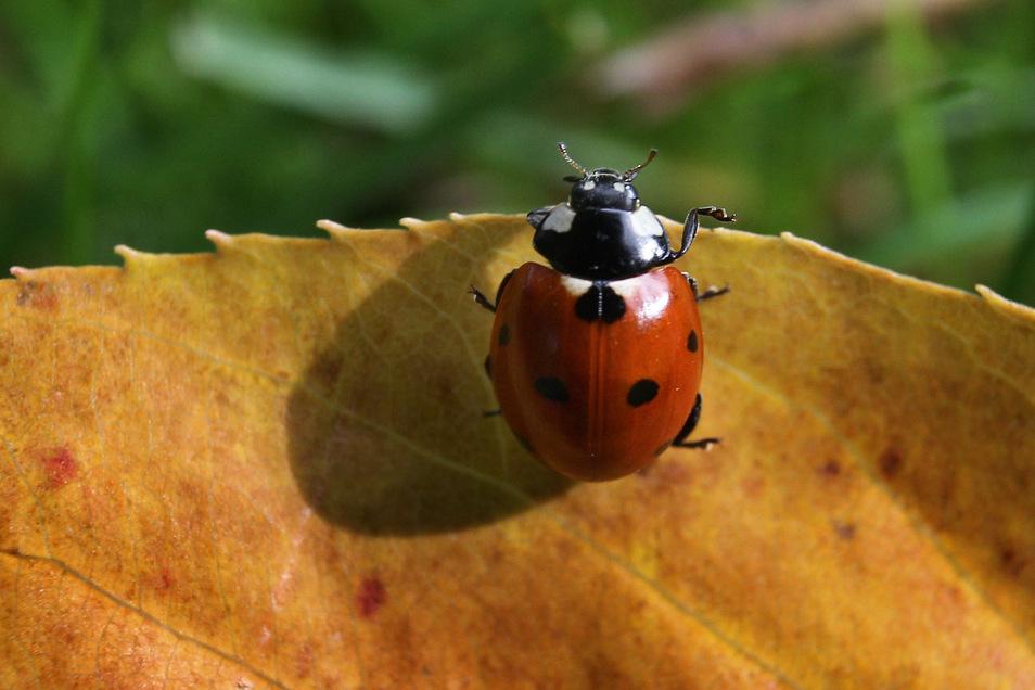 Auf der Suche nach einem warmen Ort für den Winter: In vielen Gärten und an Hauswänden sind jetzt Marienkäfer zu beobachten.