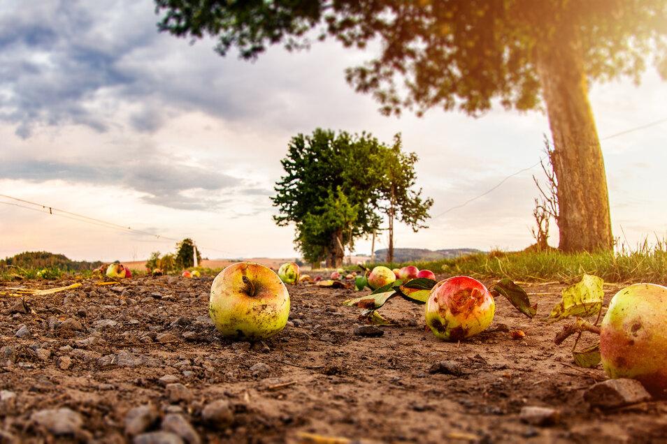 Es muss nicht immer ein Schädling oder der Frost Schuld sein, wenn ein Obstbaum im Juni Früchte fallen lässt.