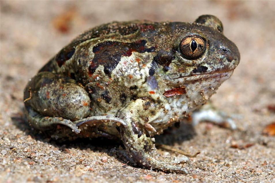 Die Knoblauchkröte ist eine der kleineren Froschlurch-Arten, aber zahlenmäßig am stärksten in der Oberlausitz vertreten.
