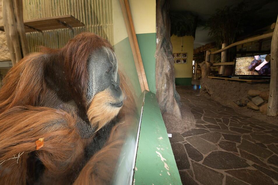 Orang-Utan-Männchen Toni schaut sich eine Tier-Doku im Fernsehen an. Besonders interessant sind Filme über Artgenossen, berichten die Pfleger.