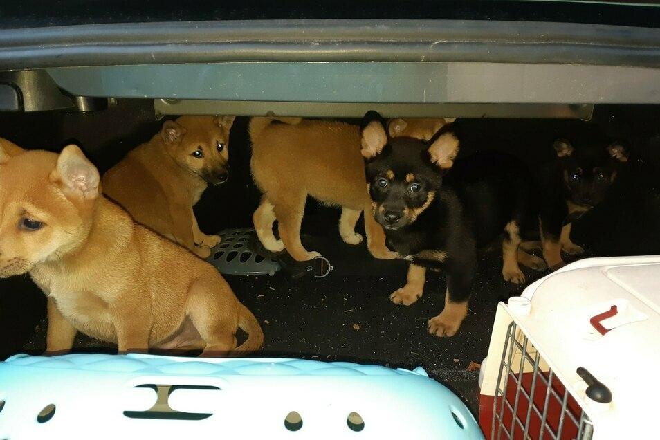 Diese Hundewelpen hat der Fahrer im Kofferraum transportiert.