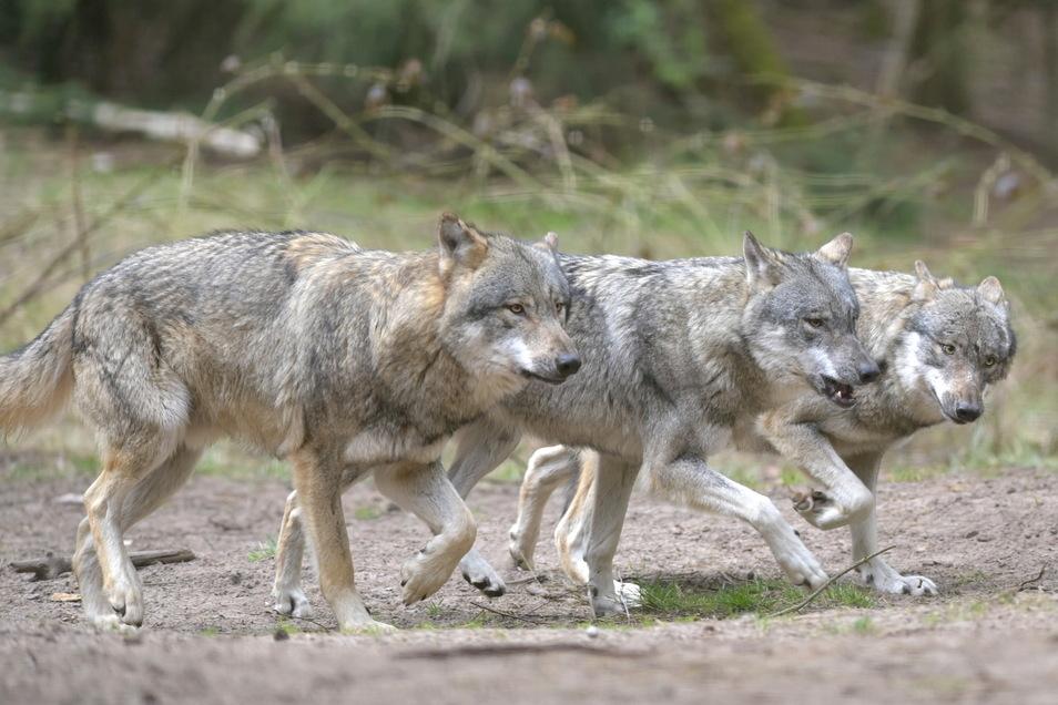 Wölfe haben sich in Sachsen vermehrt. Landwirte fordern nun ein Gegensteuern.