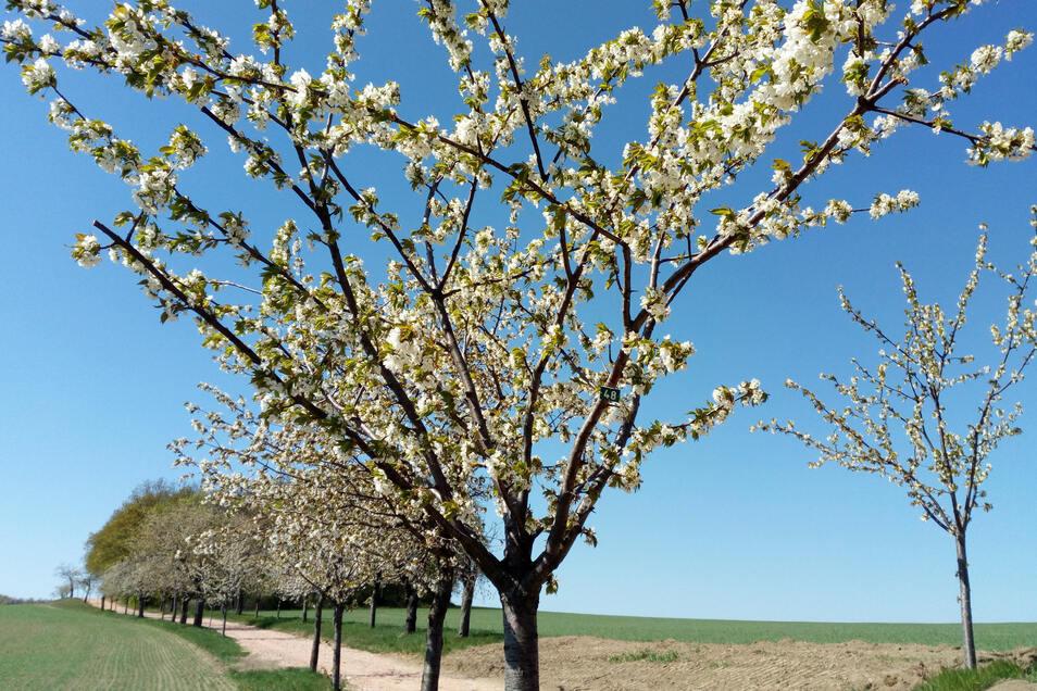 Die Bäume am Winzerweg stehen in voller Blüte.
