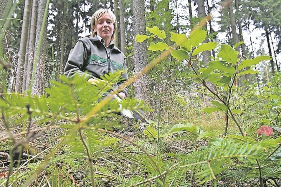 Zukunft: Revierförsterin Annette Schmidt-Scharfe zeigt, was nach den Fichten kommt. Hier wachsen kleine Tannen und Buchen.