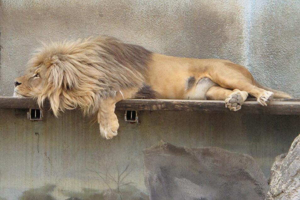 Auch bei den Raubtieren muss der Zoo aussortieren.