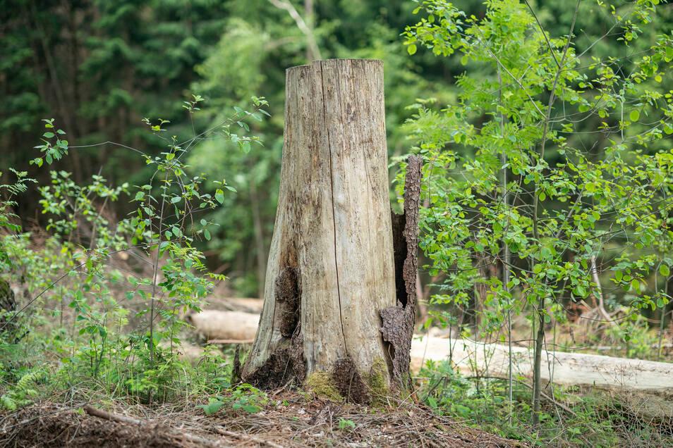Tote Bäume sind inzwischen ein häufiges Bild in Sachsens Wäldern.
