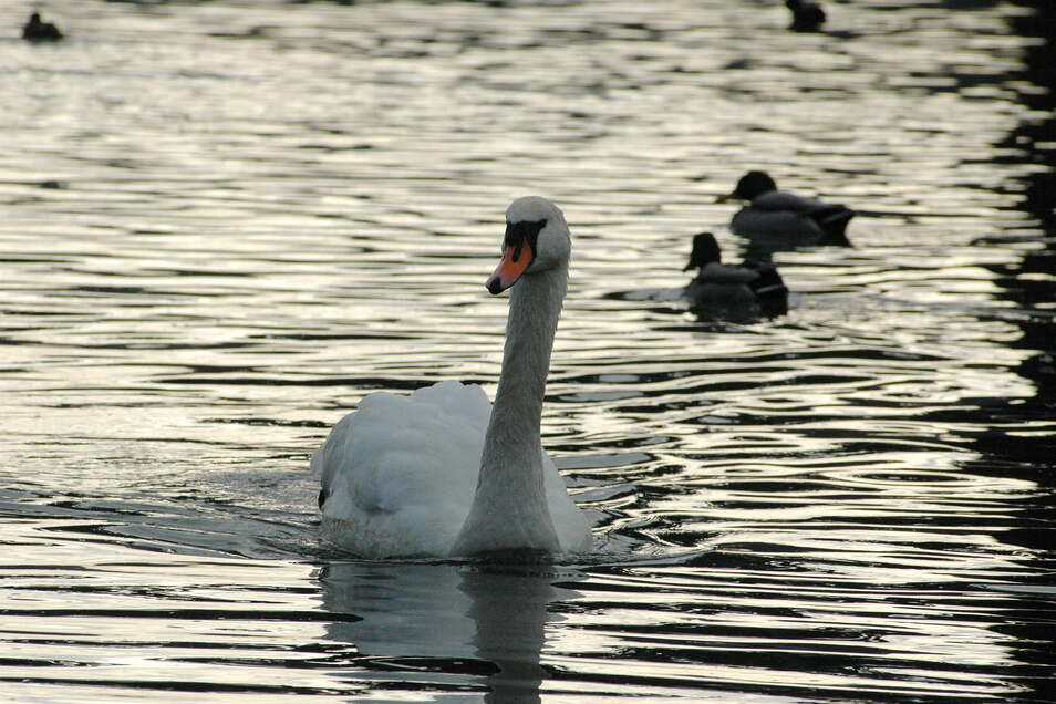 Ein Schwan auf der Elbe bei Meißen. Genauso wie Enten und Wildgänse gelten Schwäne als Überträger der Vogelgrippe. Jetzt muss wegen der Virusgefahr die Stallpflicht im Landkreis Meißen ausgeweitet werden.