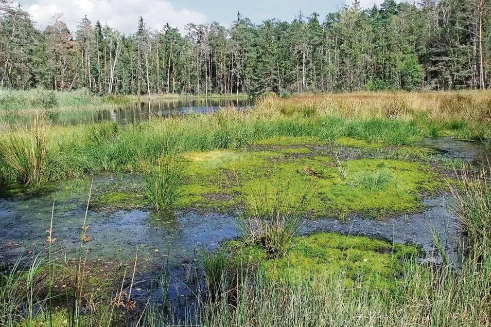Die Waldmoore Großdittmannsdorf sind über Jahrtausende gewachsen. Nun soll in ihrer direkten Nachbarschaft ein weiteres Abbaufeld für Kies und Sand entstehen. Mit möglicherweise verheerenden Folgen für diese nicht ersetzbare Landschaft.