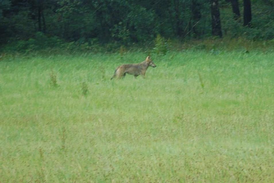 Dieses Tier lief eines Nachmittags am Rand von Crostau über eine Wiese. Fachleute bestätigen, dass es sich um einen Wolf handelt.