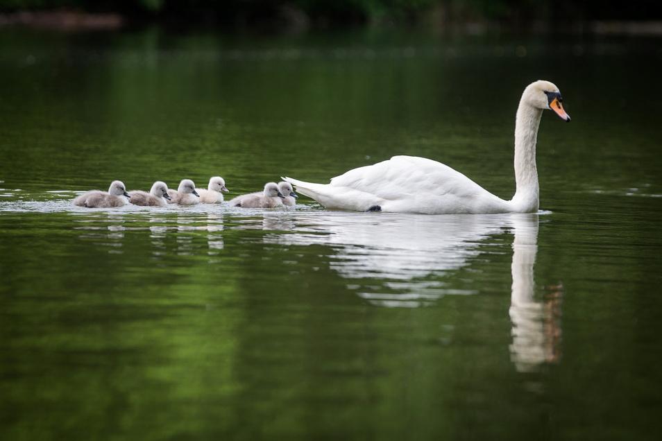 Fünf graue Schwanen-Küken und ein weißes ziehen nun mit der Schwanenmutter über den Carolasee.