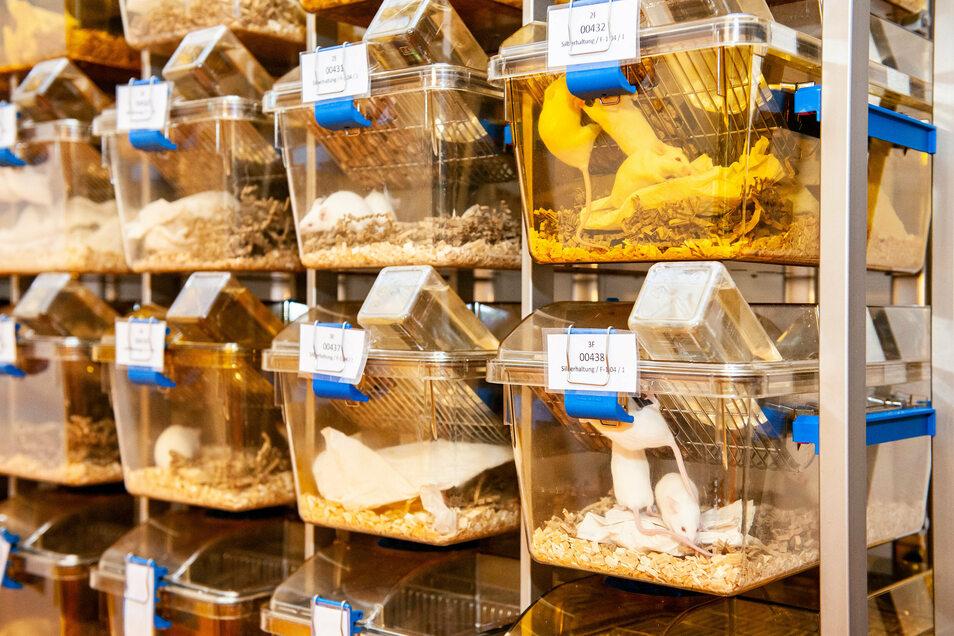 Vier bis fünf Mäuse leben im tierexperimentellen Zentrum zusammen in einem Käfig.