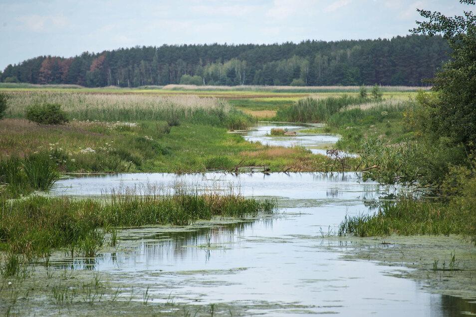 Am Zulauf des Schwarzen Schöps zum Quitzdorfer Stausee haben Biber einen Damm gebaut