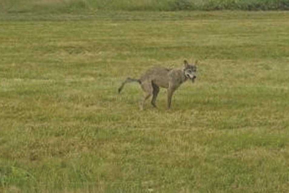 Am 23. Juni wurde zwischen Neschwitz und Caßlau ein dreibeiniger Wolf gesichtet. Sachsens Fachstelle Wolf hat dazu mitgeteilt, dass von dem Tier keine Gefahr ausgeht.