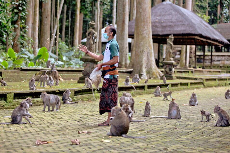 Made Mohon, Park-Manager des Sangeh Monkey Forest, füttert Makaken mit gespendeten Erdnüssen. Wegen Corona bleiben auf Bali die Touristen aus - und damit auch das Fressen für Hunderte Affen.