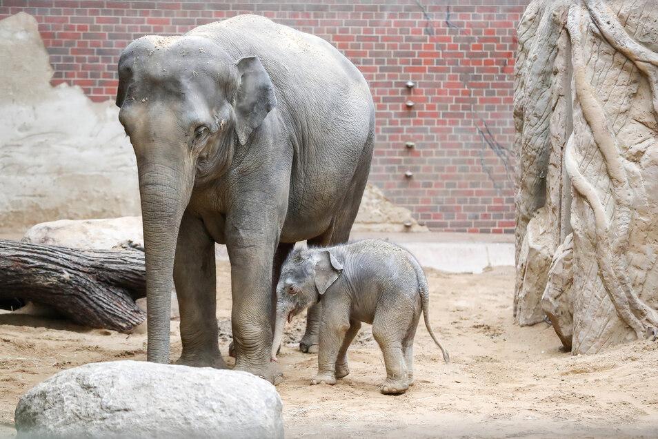 Die Elefantendame Rani und der am 11. Januar geborene Elefantenbulle stehen im Elefantenhaus im Zoo Leipzig.